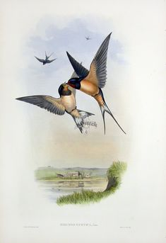 John Gould Birds of Great Britain 1862-1873. ~Die Rauchschwalbe~
