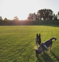 Early morning park time.  #alaskanmalamute #malamute #alaskanshepherd #alaskanshepherdpuppy #gsd #gsdpuppy #gsdpup #gsdlove #dogsofinstagram #mansbestfriend #earsup #gsdunleashed #gsdpic #germanshepherd #gsddaily #dogsofinstaworld #gsdsofigworld #lacyandpaws #dailydogg_features #topdogphoto #featureperfectpups #gsdpuppy #gsdpup #gsdlove #blackgsd #blackgermanshepherd #germanshepherdpuppy #ForeverGermanSheps #goodmorning by joaquin_and_luna