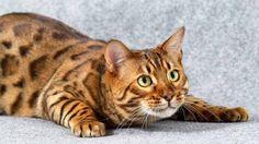 Bengal cat (71 photo) (27)