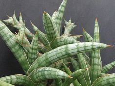 SANSEVIERIA SUFFRUTICOSA 'SPIRAL FORM - Google Search