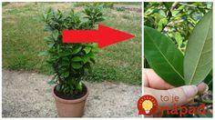 Tieto lístky poznáme z obchodu, ak však máte doma celú rastlinu, máte vyhraté. Pestuje sa úplne jednoducho!