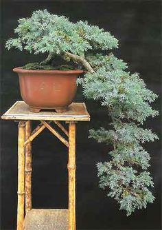 Bonsai Tree Histories: Juniper Bonsai Case History (juniperus squamata)