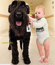 El Schnauzer gigante ayuda a los niños enfermos a pie después de que sus operaciones como lo hace sus rondas en el hospital. Lea más sobre esta terapia increíble ...