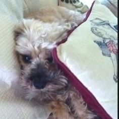Snickers the Schnoodle ... Sweetest dog in the world.  <3