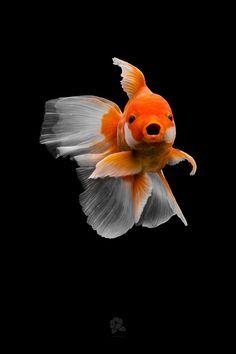 Beautiful Tropical Fish, Beautiful Fish, Lionhead Goldfish, Oranda Goldfish, Goldfish Tank, Cute Fish, Fish Drawings, Underwater Creatures, Animals