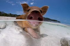 Friendly local pigs on the beach of Exuma. BAHAMAS IM COMING.