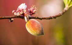 Legarea fructelor s-a încheiat în tot pomul. Peach, Plant, Peaches