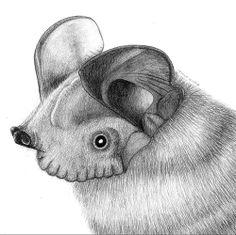 ilustración científica murciélago