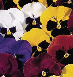 Learn how to grow pansies from seed with Swiss Giants Mix Pansy Seeds. This hardy annual grows lots of big, bold pansies with single and bicolour flowers.