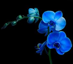 Picture of Orchid flower on black background stock photo, images and stock photography. Blue Flower Photos, Flower Images, Blue Flowers, Orchid Flowers, Photo Black, Black Backgrounds, Orchids, Art Photography, Stock Photos