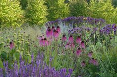 Note it's the native echinacea--prettier. Phlomis and also the native rudbeckia.