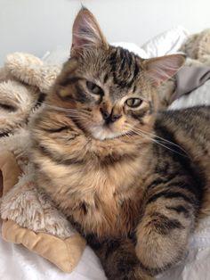 Marvel of the Oz Kittens from TinyKittnes.com (Marvel & Toto's Furrry Tale xo) 5/29/2015