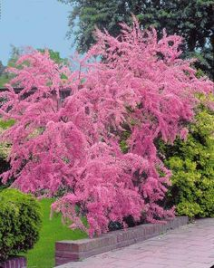 Photo Tamaris d'été Plus Garden Shrubs, Garden Landscaping, Outdoor Plants, Outdoor Gardens, Small Trees For Garden, Pink Garden, Plantation, Trees And Shrubs, Flowers Nature