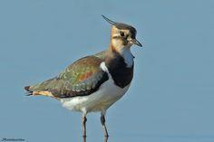 Lapwing do norte,Abibe-comum, Peewit, Pewit, Tew-it, Tuit, Plover-verde, Vaso do norte ou Lapwing (Vanellus vanellus)