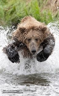 Charging brown bear, Brooks Falls, Alaska