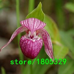 Rare White Mouth Cypripedium Seeds Balcony Potted Bonsai Seeds Patio Plants Flowers Paphiopedilum Slipper Orchid Seeds 100PCS