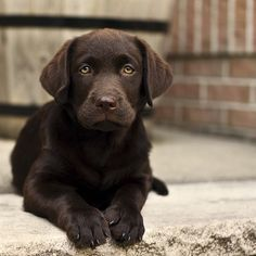 Loooooveee chocolate Labrador puppies