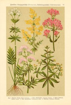 1920 Common Madder, Woodruff, Lady's Bedstraw, Red Valerian, Valerian Antique Chromolithograph to Frame