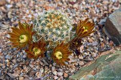 Echinocereus viridiflorus ssp. corellii, cultivated