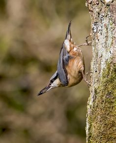 nuthatch----The upperparts, wings, crown and nape are blue-grey and the underparts are orange-buff, changing red-brown on the flanks and towards the vent.  Beneath the black eye stripe, which gives it a bandit-like appearance, is white. The bill is grey and the legs yellowish-brown.