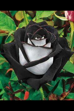 Black n white rose