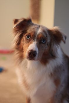 Red Merle Australian Shepherd... LOVE her!