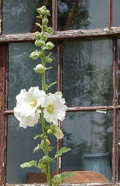 Hollyhock - I love white flowers! Moon Garden, Dream Garden, White Flowers, Beautiful Flowers, Colorful Roses, Rosen Beet, White Gardens, Plantation, Garden Inspiration