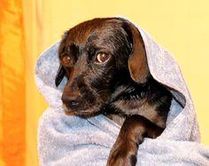 Why you do this to me?  #dogsandpals#instadog#dogstagram#dogsofinstagram#dogs#instadaily#tampa#florida#sunshine#fitness#lacyandpaws#jiffpom#instadogs#pets#rescue#dailydog#pets#terrier#lulu#spca#humpday #bath#bathtime#wet#supertuesday #sad#sadeyes#picoftheday by luluslife_