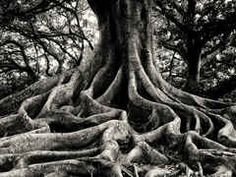 old root system