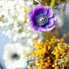 Las amapolas son mis flores preferidas, pero las anémonas no se quedan lejos 😍😍😍¿cuales son las vuestras? #flores #flower #primaveral #anemone #anemones #mimosas #anemona