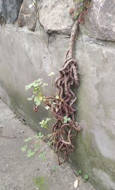 Oxalis megalorrhiza w Rumii Plant Hanger, Plants, Plant, Planets