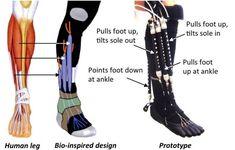 Prótesis robótica con músculos artificiales para rehabilitación de pie y tobillo — Noticias de la Ciencia y la Tecnología (Amazings®  / NCYT...