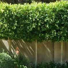 Ficus tuffi as a pleached hedge Ficus Hedge, Hedge Trees, Topiary Trees, Privacy Trees, Small Courtyard Gardens, Small Gardens, Garden Hedges, Garden Paths, Bay Leaf Tree
