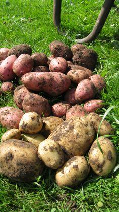 Waarom zou je aardappelen kweken? Aardappelen zijn spotgoedkoop in de winkel, en in je tuin nemen ze al gauw veel te veel plaats in. Dus waarom zou je ze dan zelf kweken? Misschien gewoon hierom: s…