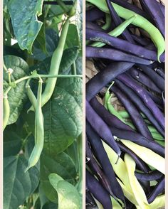 Here's some interesting bean facts to go with our latest harvest! Enjoy! Beans are the only cultivated plants that actually enrich rather than deplete the soil during the growing process. How is this possible? Legumes have nodules on their roots that add nitrogen to the soil instead of using it up. Cooked beans can be frozen for up to six months. Thaw them overnight in the fridge before reheating. Bean carbohydrates have been proven to drastically improve the stability of blood sugar levels…