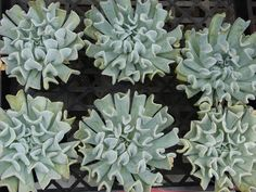Echeveria are loved by new and lifelong succulent keepers alike. This guide cover 15 of our favorite echeveria types and how to keep them. Types Of Succulents, Growing Succulents, Cacti And Succulents, Planting Succulents, Succulent Landscaping, Succulent Gardening, Landscaping Tips, Water Plants, Cool Plants