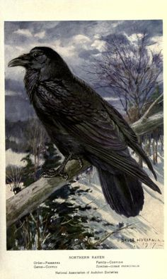 Raven, Portraits and Habits of Our Birds, Thomas Gilbert Pearson, 1920.