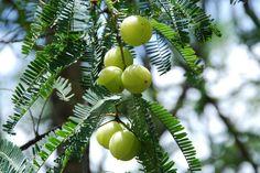 Amalaki (আমলকী), Aonla - Amla- Gooseberry- Emblica Officinalis