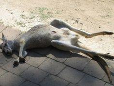 Have a relaxing and lazy Sunday just like me!  from Kangaroo  #currumbinwildlifesanctuary  カンガルーリラックスし過ぎ. .笑  #kangaroo #relax #lazy #animals #voyage #currumbin #qld #Australia #zoo #animallover #photo #instatravel #photooftheday #sleep #lazysunday #ig_australia #photograph #funny #kangaroowhisperer #ig_travel #australiagram #ausfeels #trip #insta #holiday #vacation #portrait #view #scenery by xo_emi_xo http://ift.tt/1X9mXhV