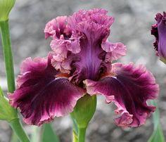 TB Iris germanica 'Romantic Gentleman' (Blyth, 2002) #uniquegardeningideas