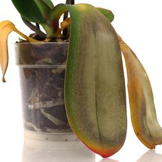 Why Are My Orchid Leaves Turning Yellow? - - There are a number of factors that can cause the leaves of an orchid to become discolored, including direct sunlight, low temperatures, and root rot. Water Culture Orchids, Orchids In Water, Indoor Orchids, Orchids Garden, Plants Indoor, Flowers Garden, Yellow Leaves On Plants, Orchid Leaves Turning Yellow, Yellow Orchid