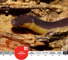 Beddome's Caecilian, Ichthyophis beddomei is a worm-like amphibian. It is listed as 'Least Concern' on the IUCN Redlist of Threatened Species.