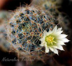 Mammillaria prolifera es el cactus ideal para coleccionistas con poca experiencia