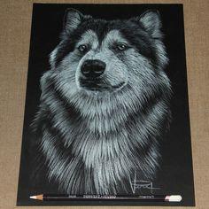 'Alaskan Malamute' White Pencil on Black Paper by Veri Apriyatno #veriapriyatno #drawing #drawingpencil #pencil #pencildrawing #pencilwork #whitepencil