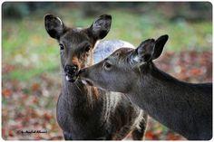 © • Sika Wild • Sika Deer • | von M.A.K.photo