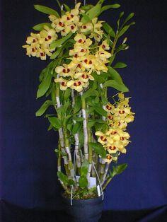 Hoya Plants, Orchid Plants, Air Plants, Dendrobium Nobile, Orquideas Cymbidium, Amazing Flowers, Beautiful Flowers, Beautiful Gardens, Mini Orquideas