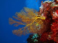 Are those colors amazing, or what? Beqa Lagoon reefs and sea fan.