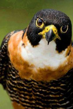 The Orange-breasted Falcon (Falco deiroleucus) - Predator - Raptor