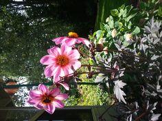 pink dark dahlia