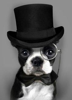 Diplomat Dog...